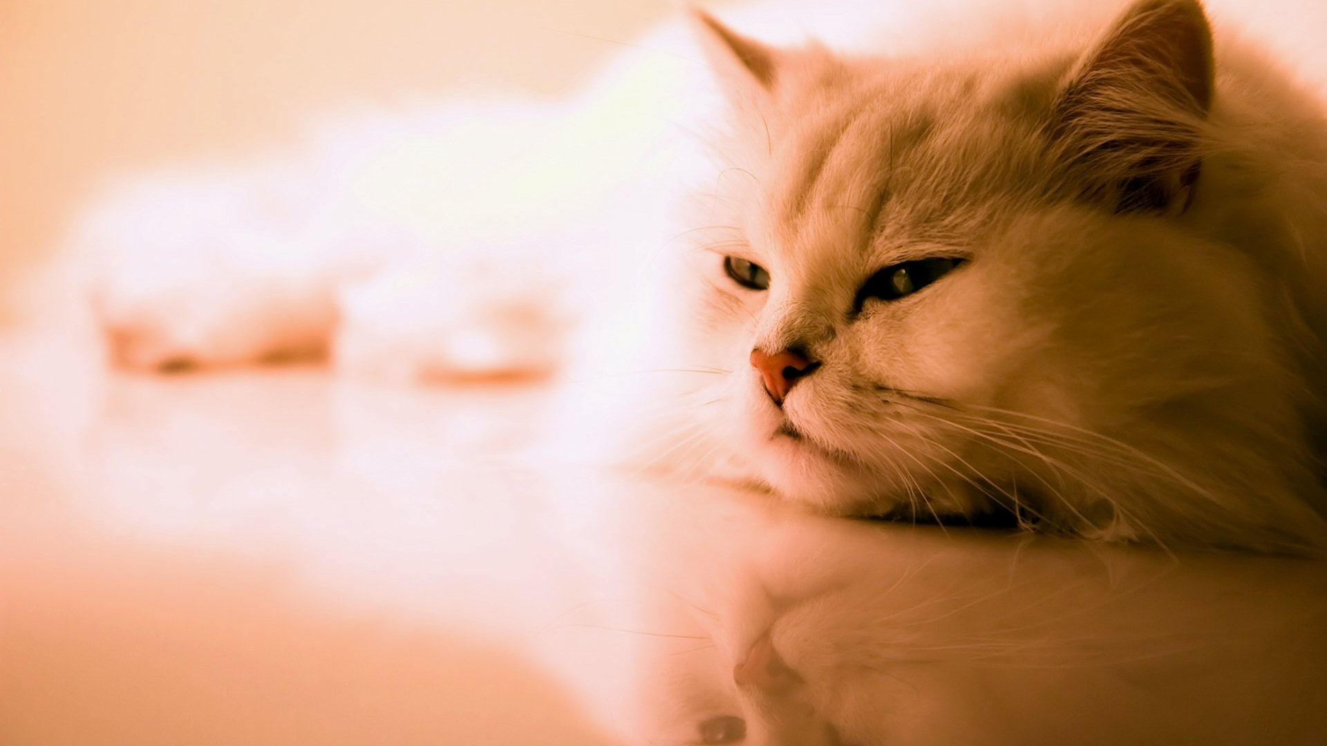 Image Result For White Cat Downloada