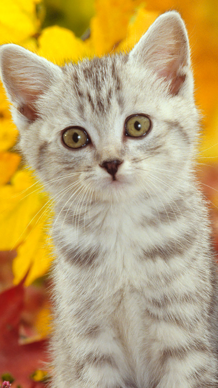 50 HD Cat iPhone Wallpapers